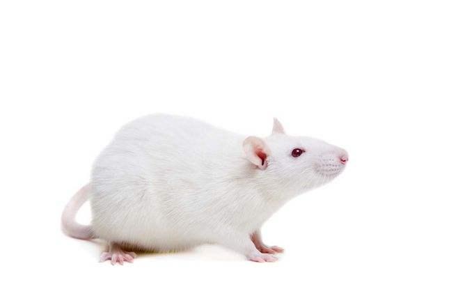 动物模型实验服务